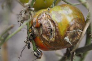 As you can see, it's been a terrible season for tomato growers.