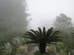 This cycad looks just beautiful against the fog.