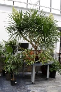 A flowering dracena surrounded with staghorn ferns