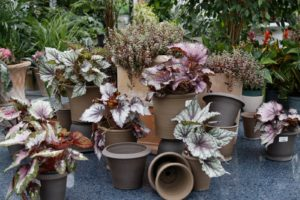 Lovely begonias displayed with the unmistakable pots of.....