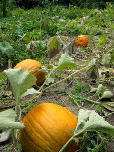 September 22, 2009 - An overview of the pumpkin patch