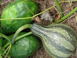A dinosaur gourd and a Tennessee sweet potato
