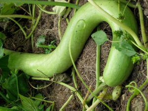 A very long snake gourd