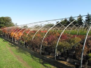 The is the hoop house which was filled with many varieties of Japanese maples.