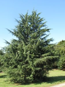 A very beautiful Cedrus deodara thriving in the sandy, well-drained soil of the Northfork