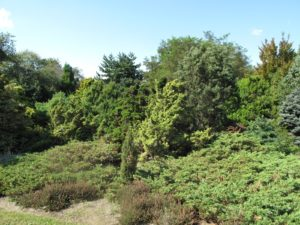 Many conifers can be found planted throughout the gardens and nursery areas of Environmentals.