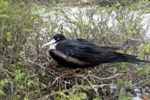 This is a female great frigatebird sitting on its nest. The female is larger than the adult male and has a white throat and breast.