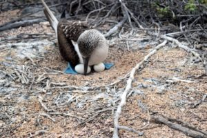 This is a blue-footed boobie sitting on its eggs. These birds are ground nesters and keep their young warm with their bodies and webbed feet.