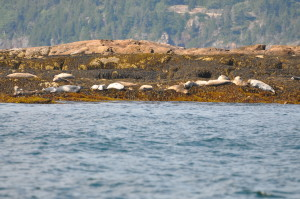 """Harbor seals are characteristically solitary and rarely interact with others except when mating. However, they often """"haul out"""" in loosely organized groups. These groups may include both sexes and all ages and even other varieties of seal."""