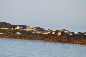 Harbor seals generally do not touch each other when hauled out. They maintain a space between them of several feet.