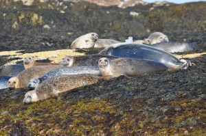 While on land, harbor seals rarely move once they find a comfy spot. They turn their heads frequently, however, to watch for potential danger. When alarmed, harbor seals will quickly rush into the water.
