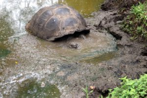 Here is a tortoise coming out of the muddy water. Most of their traveling is done in the early morning or the late afternoon when it is a bit cooler.