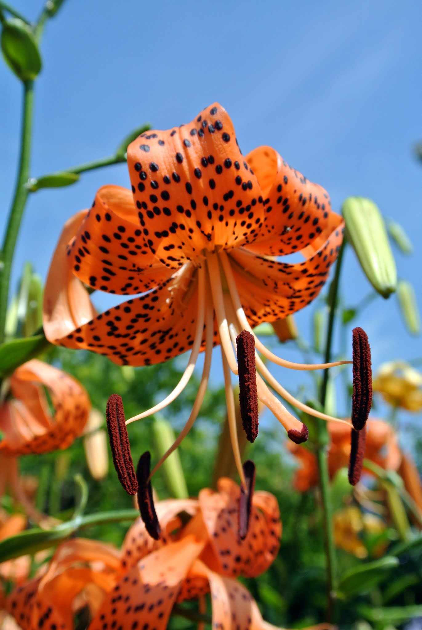 The Martha Stewart Blog Blog Archive Blooming Tiger Lilies