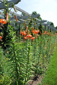 These lilies can grow very tall - up to five or even six-feet, on slender stems.