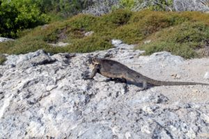 And, here is a Galapagos land iguana sunning himself on a rock. I was able to get close to it - he is about two-feet long.