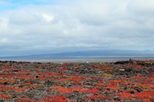 Here is a patch of red colored plants on the shore. It's called  Sesuvium edmonstonei, which is endemic to the Galapagos.