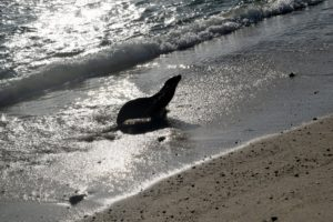This is a baby sea lion as it was about to enter the water.