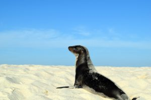 And here is a juvenile sea lion on the beach.