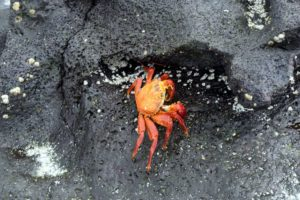This is a bright-colored sally lightfoot crab on a rock. These crabs are coastal scavengers and help to keep the shore clean by eating organic debris and ticks off marine iguanas.
