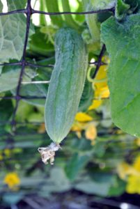 This cucumber needs just a little more time to grow.