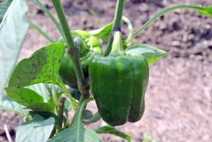 The peppers are coming in nicely. Sweet peppers have a mild, sweet flavor and crisp, juicy flesh.