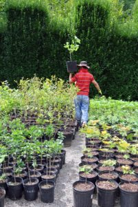 All the potted seedlings are kept grouped together, where they can continue to be carefully maintained until they're transplanted into the ground.