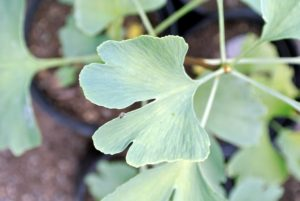 Although ginkgos grow the world over, some of the oldest specimens are found in South Korea, Japan, and in China, where there is one that is reported to be more than three-thousand years old.