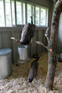 Because they have grown up here at the farm, these peahens are used to the various sounds made by the outdoor grounds crew. They quickly found the tree and perched on its branches.