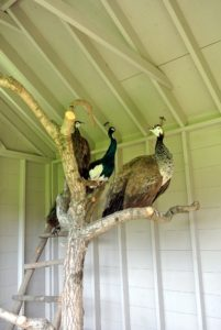 In just a few weeks, I am sure all the members of this ostentation will love it here in the new peafowl palace.
