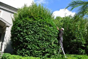 Chhewang is pruning one of two large hornbeams in front of my Summer House. It is easy to see how much they've grown this year - it was definitely time for another thorough trim.