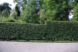Along the back of the Summer House and the Winter House is a European hornbeam hedge, Carpinus betulus.  Because it is planted on a gradual slope, it needs to be pruned using a step method.