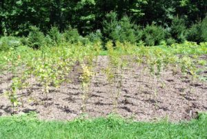 Up in the large field next to my growing Christmas trees, I am also growing hornbeam seedlings. This area will be home for at least a year until they are more developed.