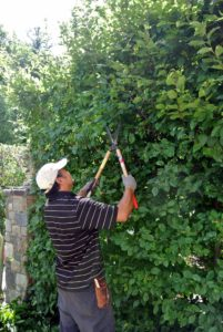 The outermost parts of a hedge are exposed to lots of light, so they grow more vigorously. Chhewang is a very talented pruner. He holds the shears' arms at right angles to his body in order to maintain a level front.