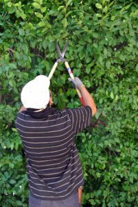 Using Japanese Okatsune shears, Chhewang started pruning the front, so the hedge was nice and flat. These are Okatsune 30-inch long Hedge Shears. Okatsune shears are light and precise, and come in a range of sizes. These came from A.M. Leonard. http://www.amleo.com