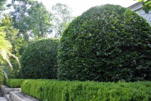 Hornbeams are pyramidal when young and become rounded with age.