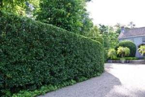 Here is a view of the other side - because of its dense foliage and tolerance to being cut back, this hornbeam is popularly used for hedges and topiaries.