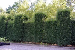 Next, the crew will head over to the other large hornbeam hedge in front of my main greenhouse, which runs along the same road. I maintain this hedge using a classic European style of pruning, which has a very sculpted look. It will be beautiful once again after a good trim.