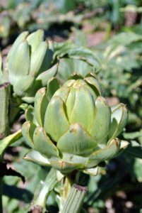 The globe artichoke, Cynara scolymus, is popular in both Europe and the United States. Artichokes are actually flower buds, which are eaten when they are tender.