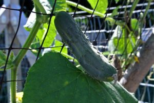I prefer small to medium sized cucumbers. Cucumbers, Cucumis sativus, are great for pickling - I try to find time for pickling every year.