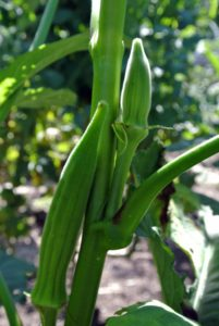 Harvest okra when they are still small, about three-inches long. A common mistake is harvesting the pods when they are six to eight inches long, when most will have a woody taste.