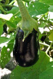 """Eggplant"" is the common name in North American and Australian English - the British English call it ""aubergine""."