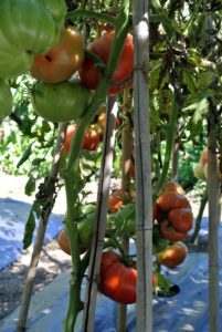 Tomatoes are heat loving plants, so all the tomato vines are laden with fruit.