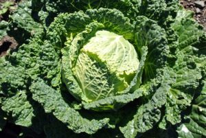 Savoy cabbages are very distinctive in appearance - they are the ones with the crinkled texture. And, although they don't look it, the leaves are very tender.