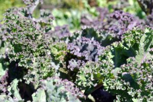 The kale looks so delicious. Kale can be curly, flat, or even have a bluish tint mixed in with the green.