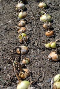 Onions are ready when the long leaves start to flop over and brown. This signals the plants have stopped growing and are beginning to prepare for storage.
