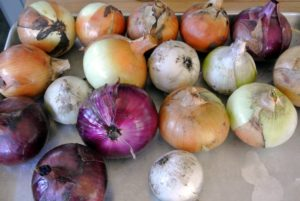 We harvested a tray of onions - red, yellow and white - and soon, there will be lots more.