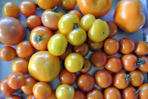 Such a beautiful bounty of tomatoes - look at all the different colors and sizes.  We separated them according to color and put them on large stainless steel trays - green, red, yellow, and orange.