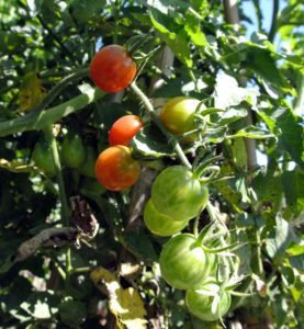 We have already harvested many, many tomatoes, and there are still so many growing on the vines. I will be making lots of sauce very soon!