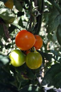Most tomato plants need between 50 and 90 days to mature. Planting can also be staggered to produce early, mid and late season tomato harvests.