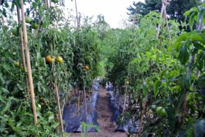 Many of you have asked how these tomato plants are watered through the black plastic - there are holes where each plant is located, so each plant can get all the water it needs.